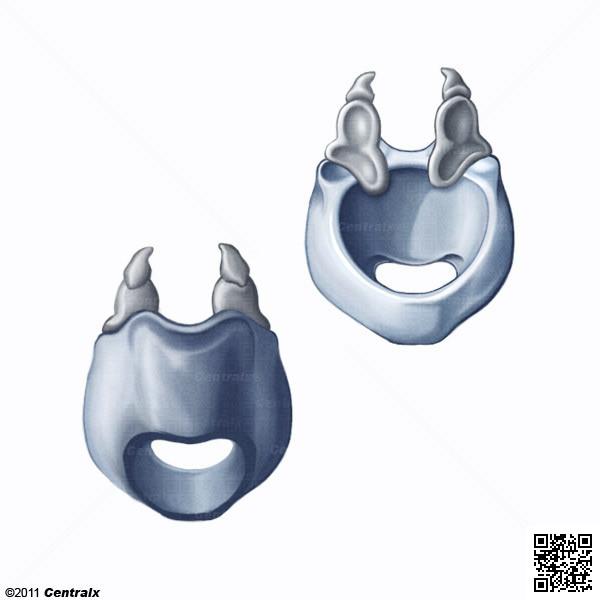Cartilage cricoïde