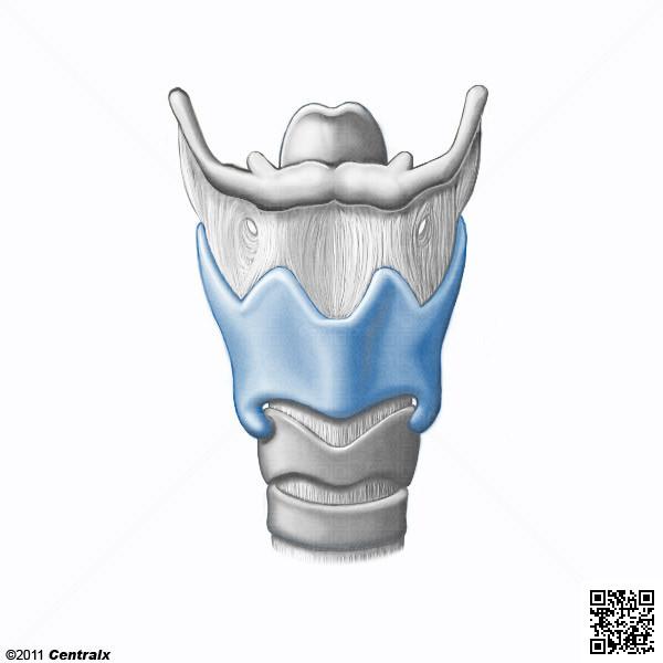 Cartilage thyroïde