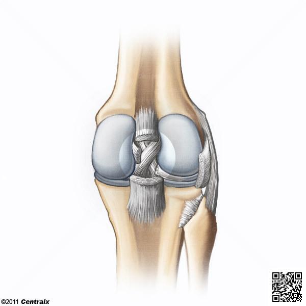 Ligament croisé postérieur