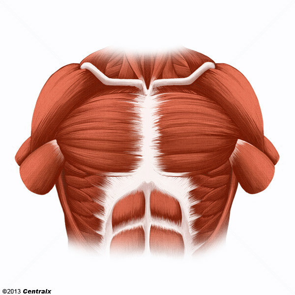 Muscles pectoraux