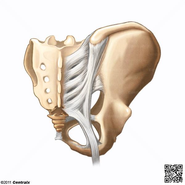 Articulation sacro-iliaque