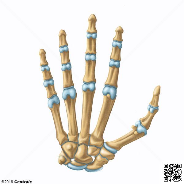 Phalanges de la main