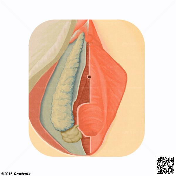 Glandes vestibulaires majeures