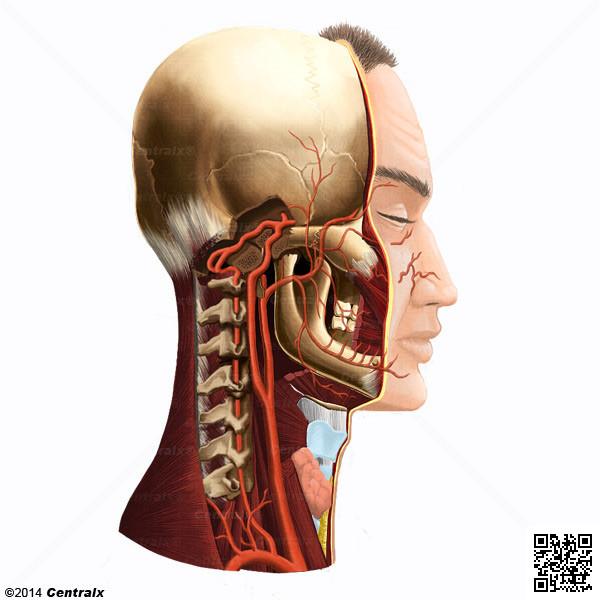 Artère vertébrale