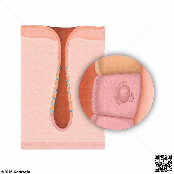 Cellules principales estomac