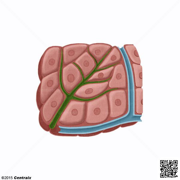 Hépatocytes