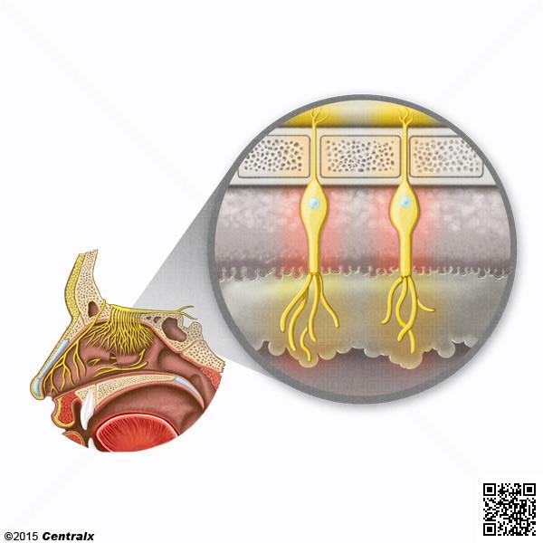 Neurorécepteurs olfactifs