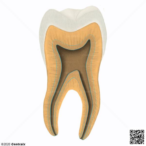 Dentine secondaire
