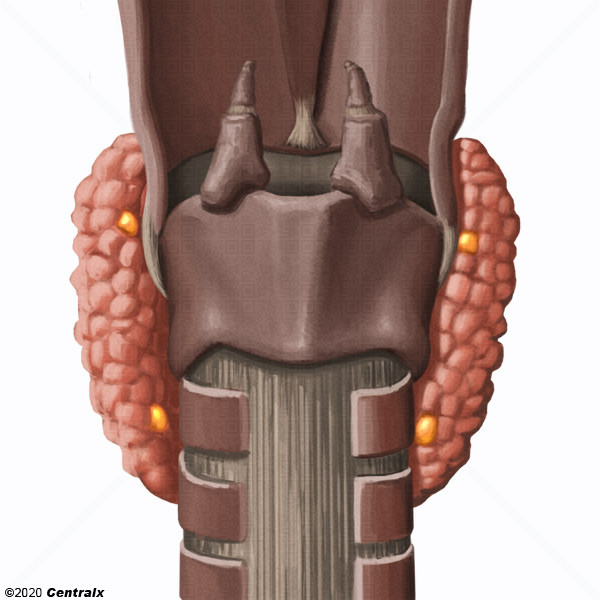 Glandes parathyroïdes