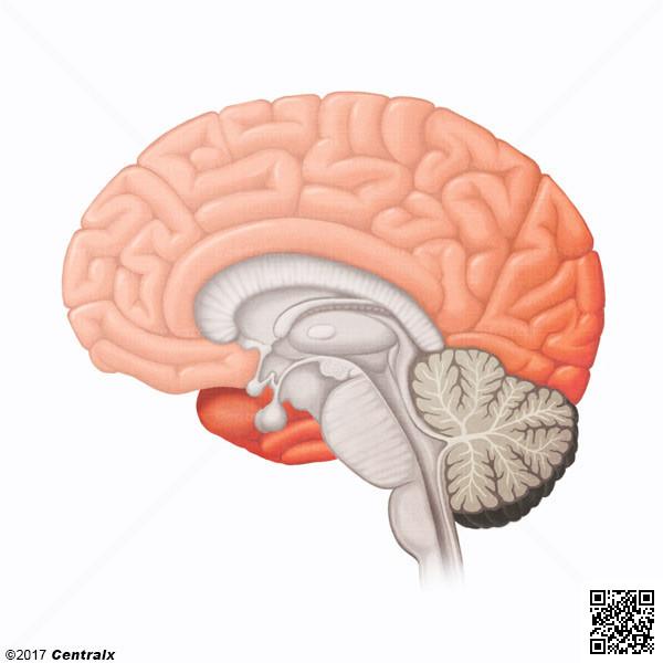 Néocortex