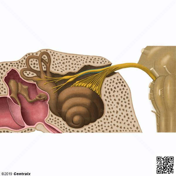 Nerf vestibulaire