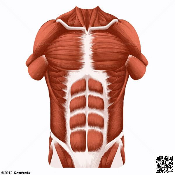 Paroi abdominale