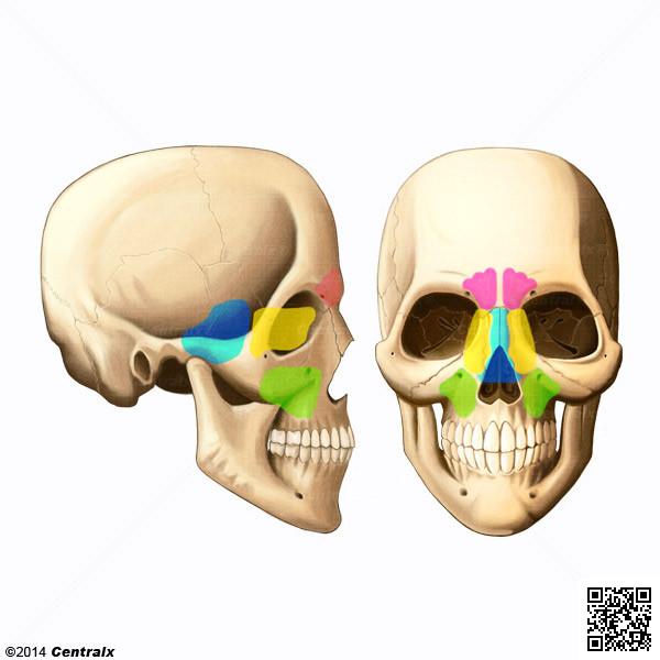 Sinus de la face