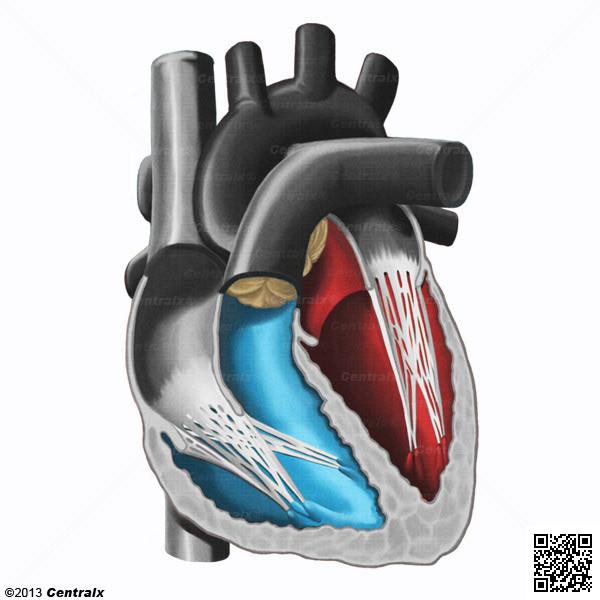 Ventricules cardiaques