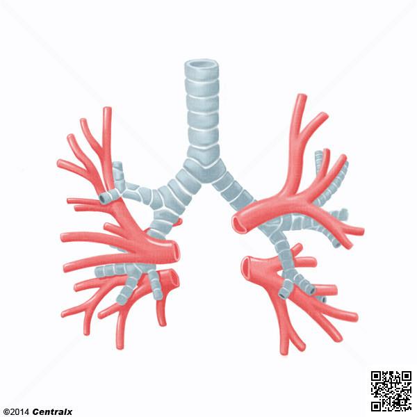 Artères bronchiques