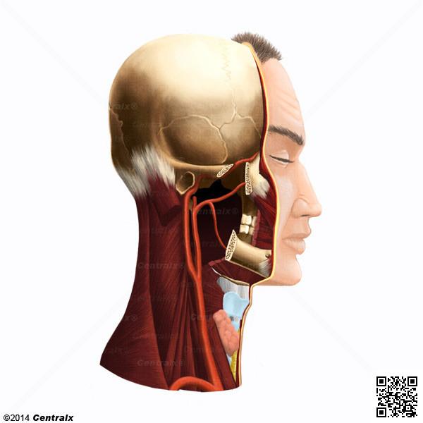 Artère carotide commune
