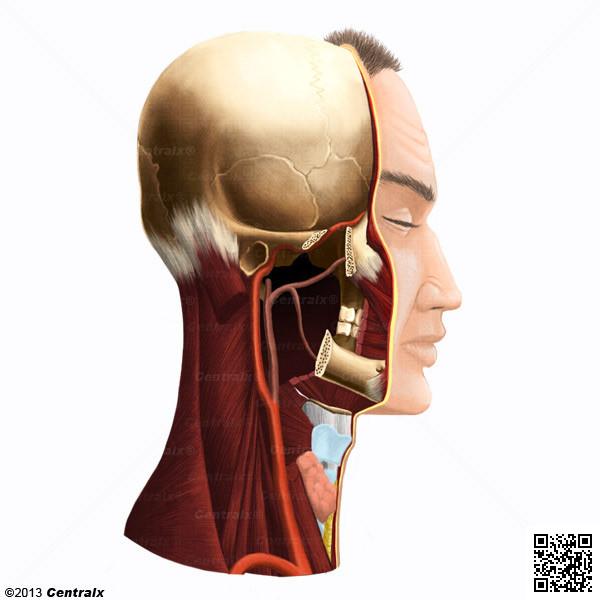 Artère carotide interne