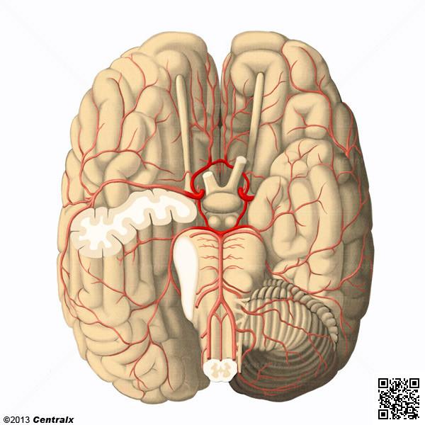 Cercle artériel du cerveau