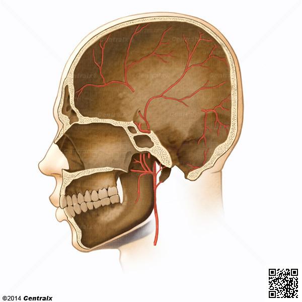 Artères méningées