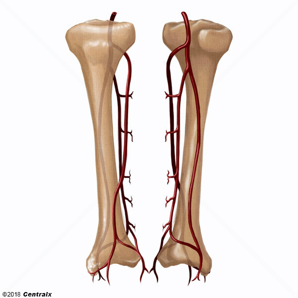 Artères tibiales