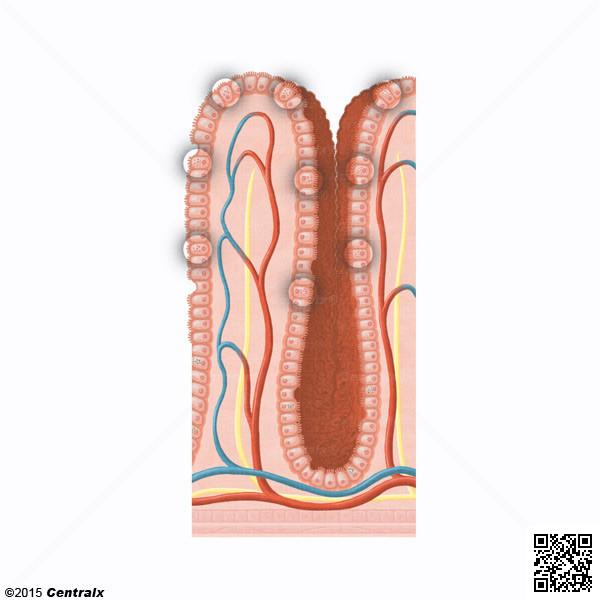 Cellules de Paneth
