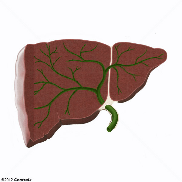 Conduits biliaires intrahépatiques