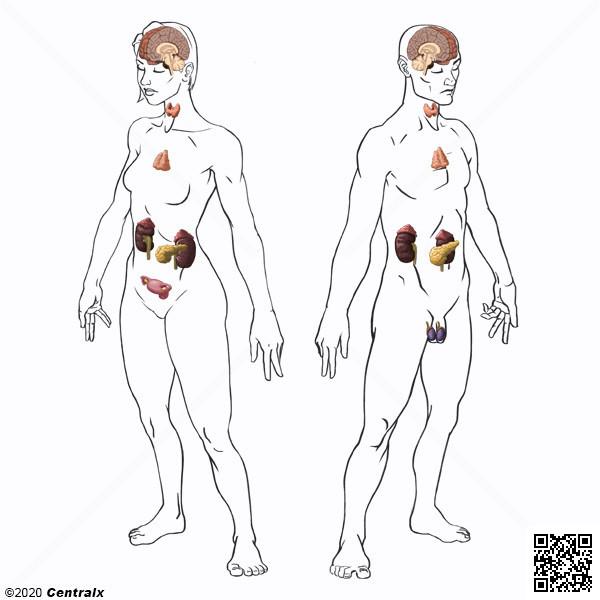 Système endocrine