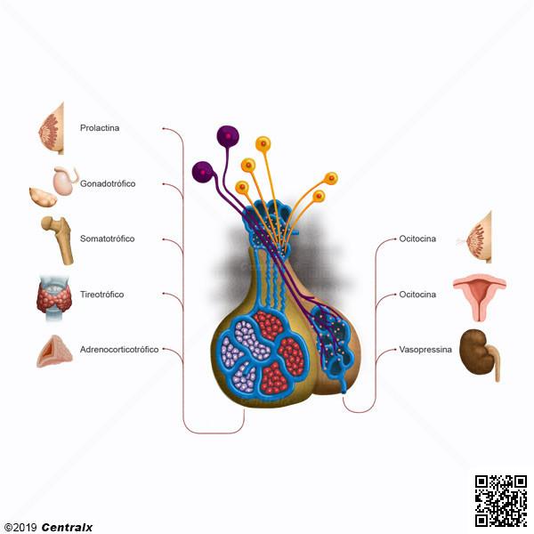 Axe hypothalamohypophysaire