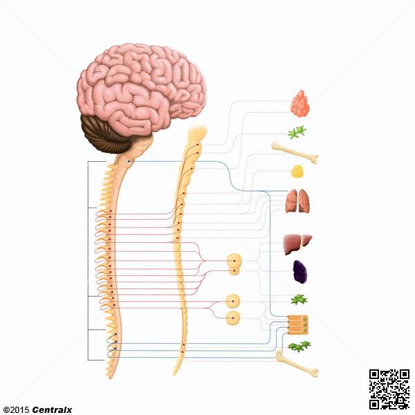 Ganglions du système nerveux autonome