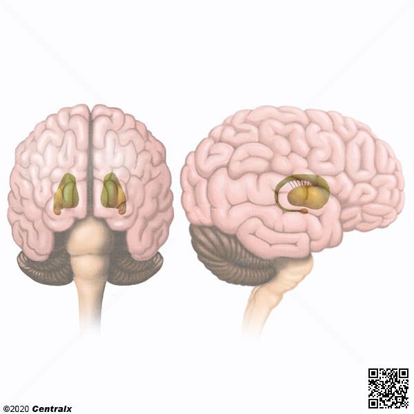 Noyaux gris centraux