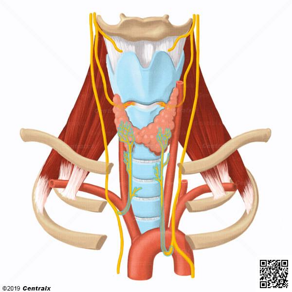 Nerf laryngé récurrent