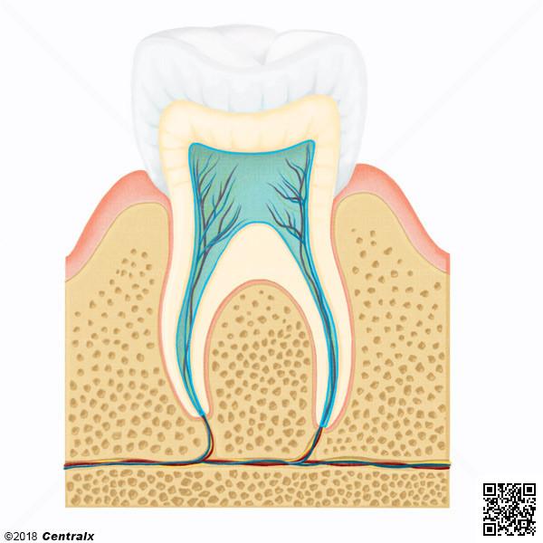 Cavité pulpaire de la dent