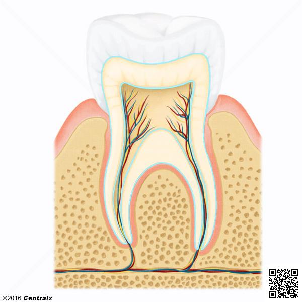 Dentine