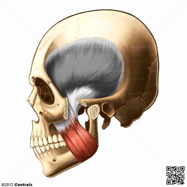 Muscle masséter