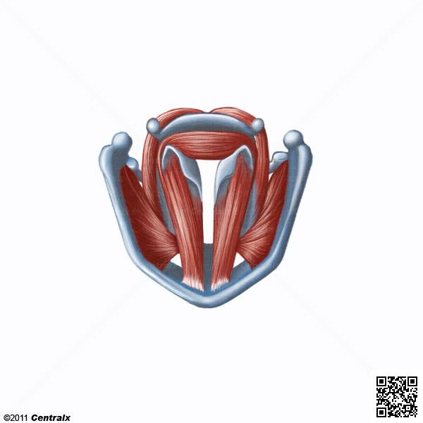 Muscles du pharynx