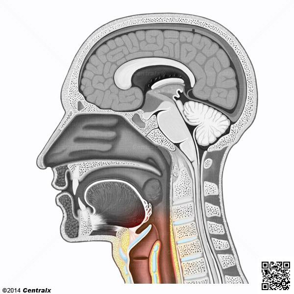Partie laryngée du pharynx