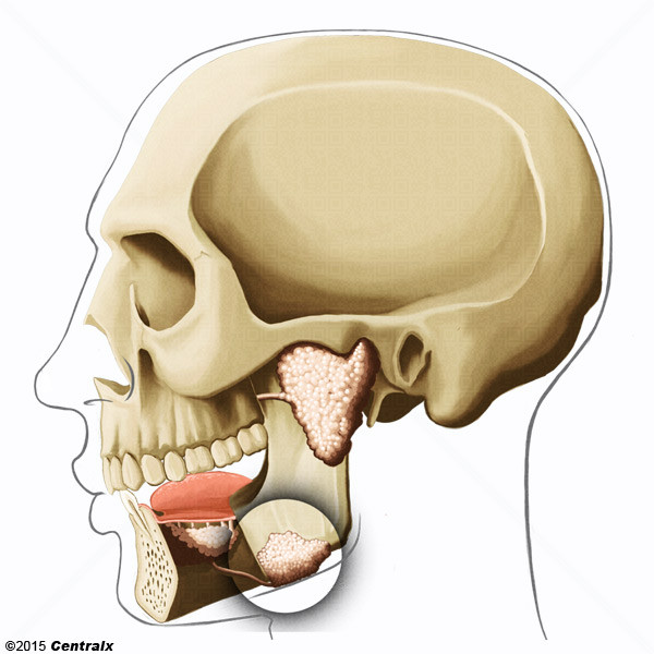 Glande submandibulaire