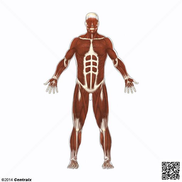 Muscles squelettiques