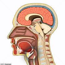 Épiglotte