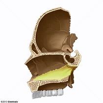Septum nasal