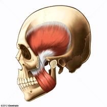 Muscle temporal
