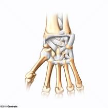 Articulation du poignet