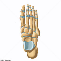 Articulations du pied
