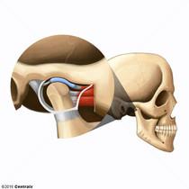 Condyle mandibulaire