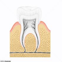 Alvéole dentaire