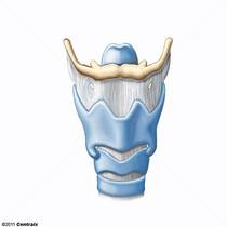 Cartilages laryngés