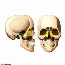 Sinus ethmoïdal
