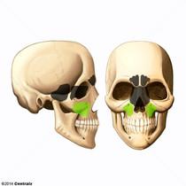 Sinus maxillaire