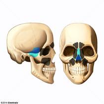 Sinus sphénoïdal