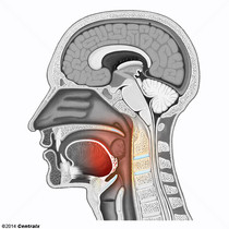 Partie orale du pharynx